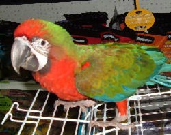 Picture of a Harlequin Macaw crossed with a Shamrock Macaw, juvenile hybrid
