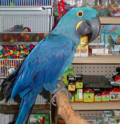 Hyacinth Macaw, Anodorhynchus hyacinthinus, Blue Hyacinth Macaw