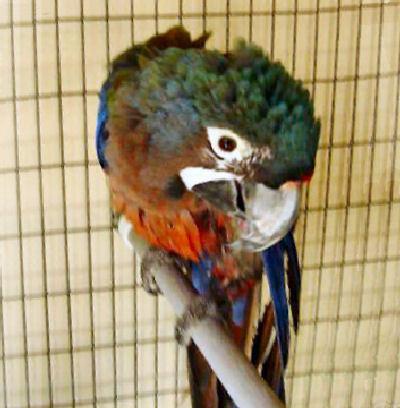 Hyacinth x Scarlet Macaw, Hybrid Macaw