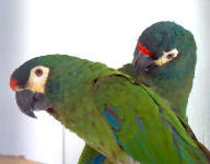 Picture of a breeding pair of Illiger's Macaws