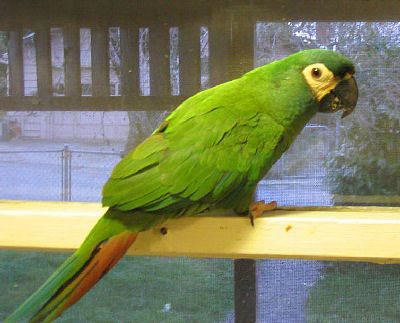 "Picture of ""Shilo"", an Illiger's Macaw or Blue-winged Macaw"
