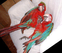Picture of a pair of Jubilee Macaws (siblings)