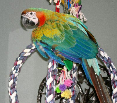 Picture of a Maui Sunrise Macaw, third generation macaw