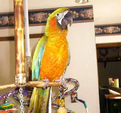"Picture of a ""Mariah"", a Maui Sunset Macaw (hybrid)"