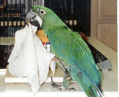Picture of a Milicinth Macaw
