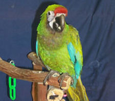 Merlin The Red Fronted Macaw  Jared Workman