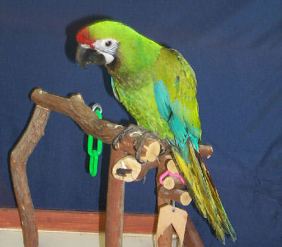 Military Macaw at five months old!