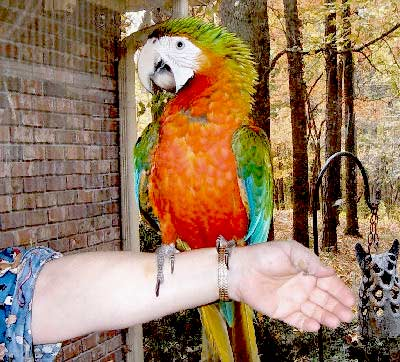 Picture of a Rubalina Macaw, third generation macaw