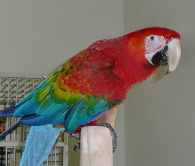 Picture of a Ruby Macaw