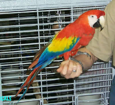 Scarlet Macaw, Ara macao, also called the Red and Yellow Macaw, Bolivian Scarlet, and the Red Yellow Blue Macaw