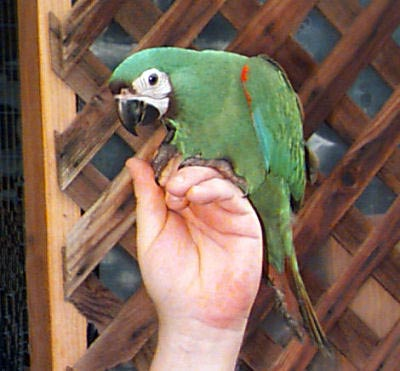 Severe Macaw or Chestnut-fronted Macaw baby