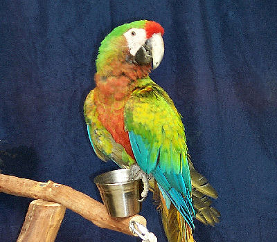 Shamrock Macaw named 'Beauty'