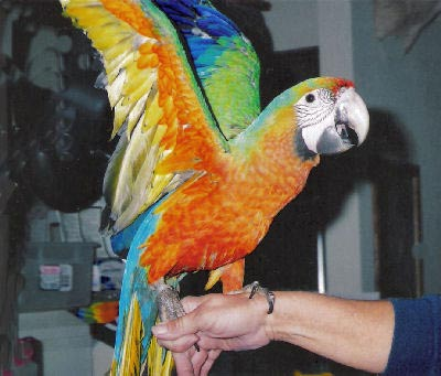 Picture of a Starlight Macaw, Second Generation Hybrid Macaw