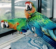 Starlight Macaws