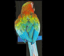 Backside Picture of a Tropicana Macaw