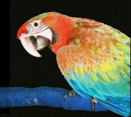 Picture of a Tropicana Macaw, Second Generation Hybrid Macaw