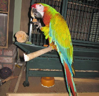 Picture of a Verde Macaw, Hybrid Macaws