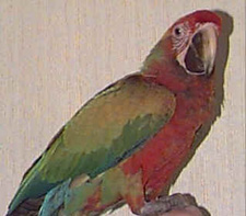 Vincent is a male Shamrock Macaw