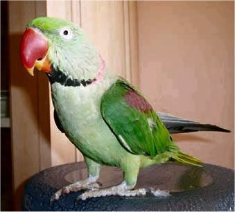 Larry is a male Alexandrine Parakeet