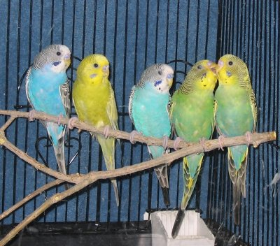 Several different Colored Parakeets