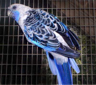 All About Parakeets, Family: Psittacidae at Animal World