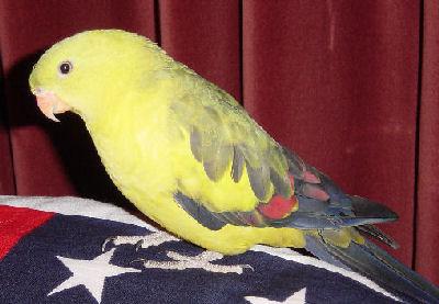 Regent Parakeet or Regent Parrot