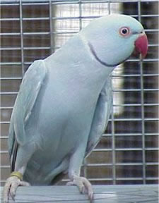 Male Blue Cinnamon Mutation of the Indian Ringneck Parakeet