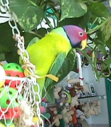Bobby, the Plum-headed Parakeet, Psittacula cyanocephala