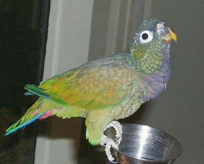 Scaly-headed Parrot or Maximilian's Pionus - Pionus Parrot Care, Bird Information for All Types of Pionus Species