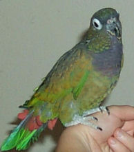 """Daidie"" , a Maxamilian's Pionus is posing for Dr. Jungle's introduction!"