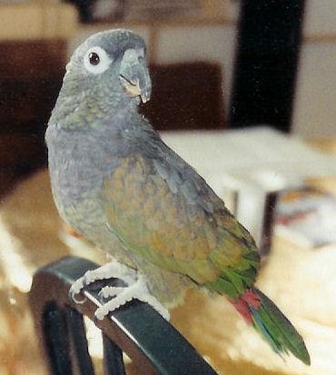"""Daidie"", Maximilian's Pionus, Maximilian's Parrot or Scaly-headed Parrot"