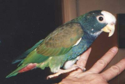 Falicia, White-crowned Pionus