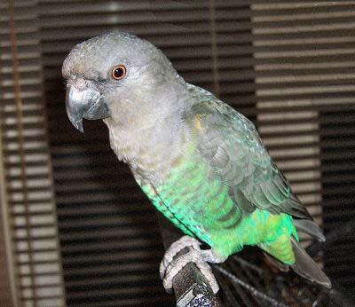 Meyer's Parrot, Poicephalus meyeri, picture of a juvenile Meyers also called the Brown Parrot