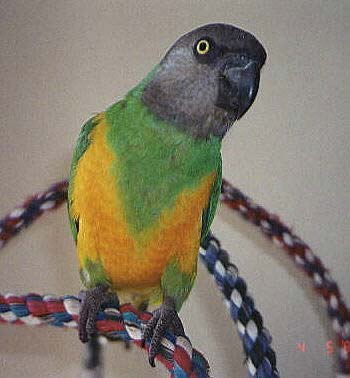 Senegal Parrot Picture, Poicephalus senegalus, also known as Yellow-vented Parrot