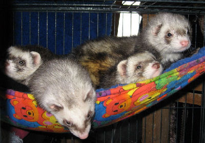 Picture of a variety of Ferrets