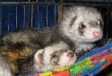 Click to learn about Ferrets