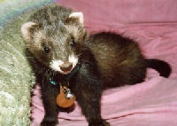 "Picture of ""Yoshimi"", a Chocolate Ferret"