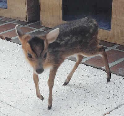 "Leaf Muntjac Deer Picture - ""Bambi"""
