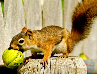 American Red Squirrel, Tamiasciurus hudsonicus