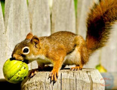 American Red Squirrel, Tamiasciurus hudsonicus