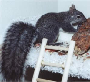 "Picture of ""Rocky"", a Gray Squirrel"