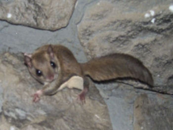 "Picture of ""Tinkerbell"", a Southern Flying Squirrel"