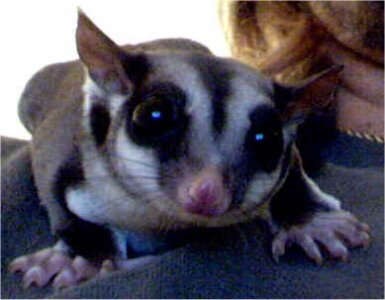 "Picture of ""Spice"", a Sugar Glider"