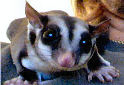 Animal-World info on Sugar Glider