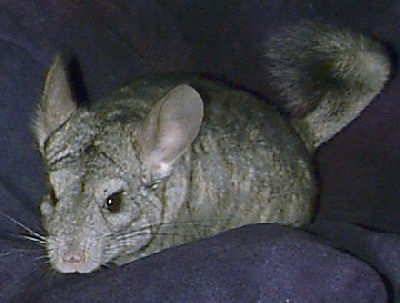 Black Velvet Chinchilla Picture