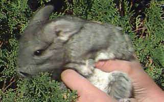 "Grey Chinchilla Picture ""Keeko"""