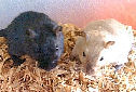 Animal-World's Featured Pet of The Week – Pet Gerbils