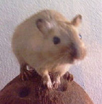 """Yin"", a Mongolian Gerbil posing for his picture!"