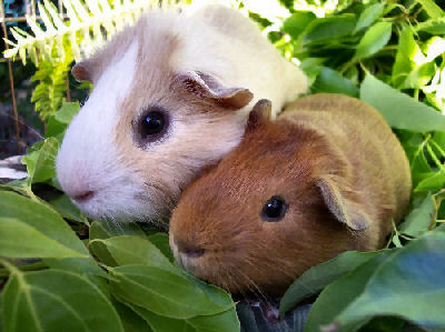 Picture of American Guinea Pigs
