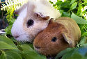 Click to learn about Guinea Pig Breeds